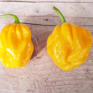 Big Sun Habanero Chilli