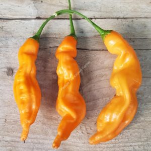 Aji Orange Colorado Chilli