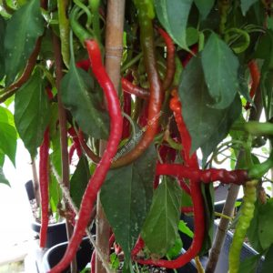 Turkish Snake Chilli