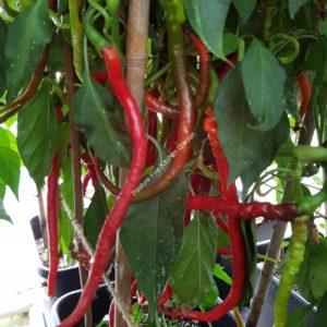 Turkish Snake Chilli
