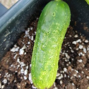 Boston Pickling Cucumber