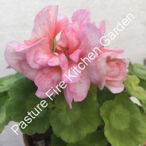Pippa Pelargonium