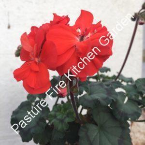 Sussex Gem Pelargonium